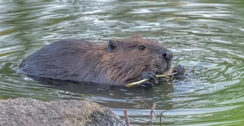 DAH NN Beaver