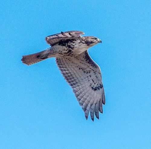 D50_4910-Red Tailed Hawk