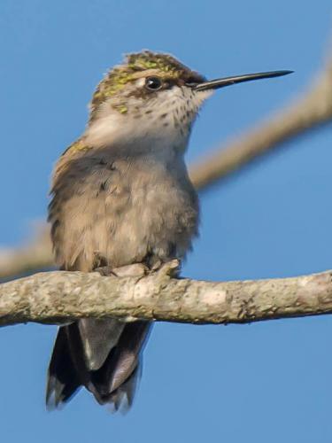 DH_N_Hummingbird_Taking_A_Break