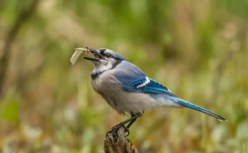 DH_N_Typical_Meal_For_Blue_Jay-
