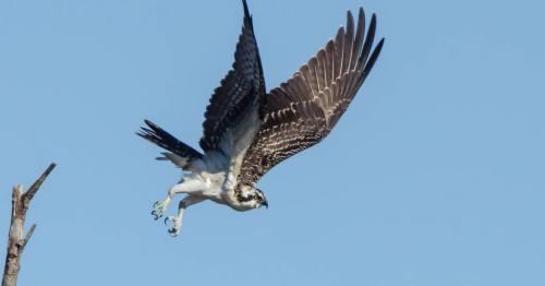 DH_O_Osprey_Diving_For_Fish-27