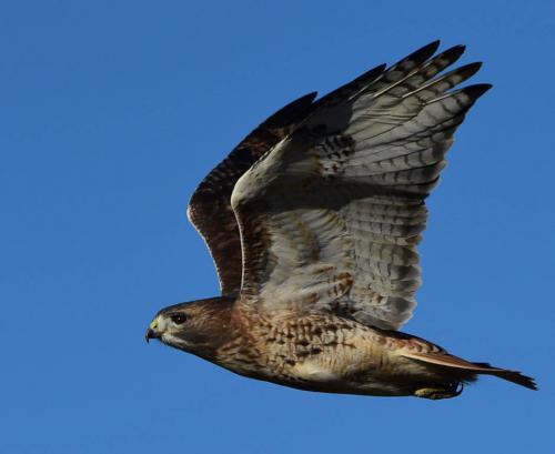 DSC_2137 Red Tail Hawk