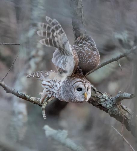 DSC_2653-Barred Owl